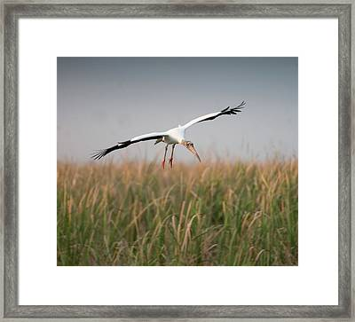 Wood Stork In Flight Framed Print by Rachelle Vance Photography