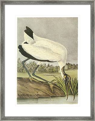 Wood Stork Framed Print by John James Audubon