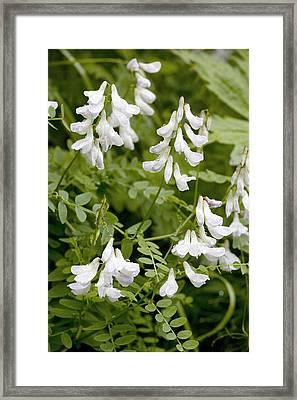 Wood Vetch (vicia Sylvatica) Framed Print by Bob Gibbons