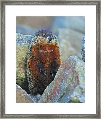 Woodchuck Framed Print