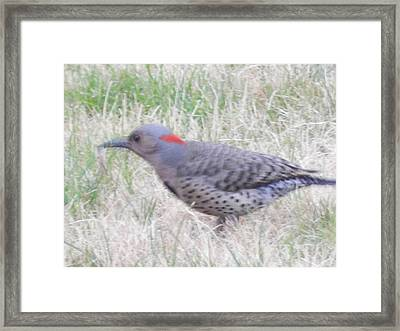 Woodpecker Flicker Framed Print by Dennis Leatherman