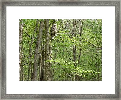 Woody The Barred Owl Mi Framed Print by Karen King