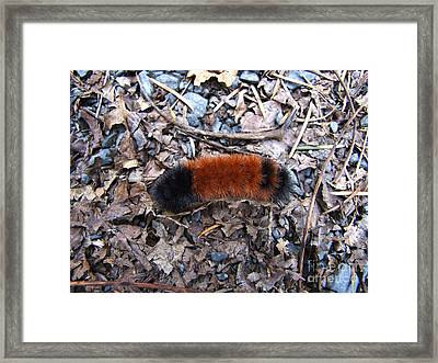 Wooly Bear Caterpillar Framed Print