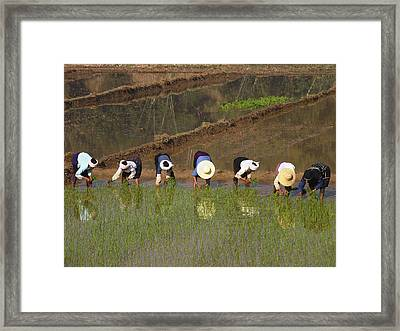 Workers Planting Rice Framed Print by Bjorn Svensson