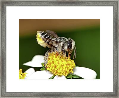 Working Bee Framed Print by Nick  Shirghio