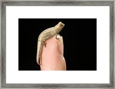 World's Smallest Chameleon Framed Print