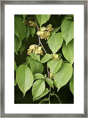 Wych Elm (ulmus Glabra) Framed Print by Bjorn Svensson