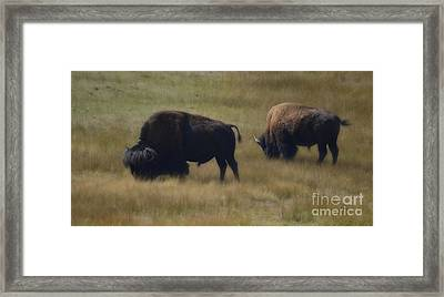 Wyoming Buffalo Framed Print