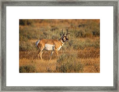 Wyoming Pronghorn Framed Print