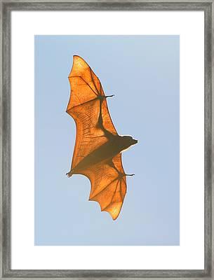 X-ray Fruit Bat Framed Print
