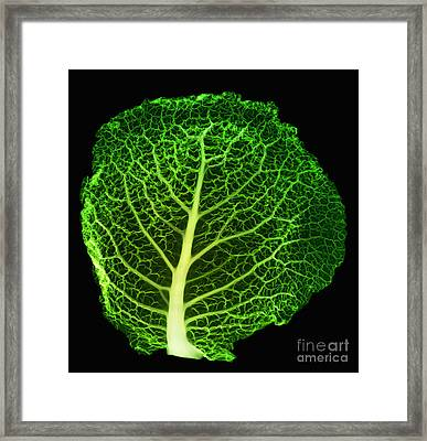 X-ray Of Cabbage Leaf Framed Print by Ted Kinsman