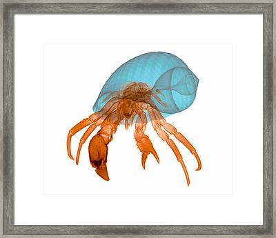 X-ray Of Hermit Crab Framed Print by Ted Kinsman