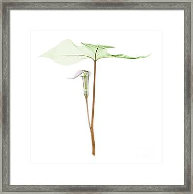 X-ray Of Jack-in-the-pulpit Framed Print