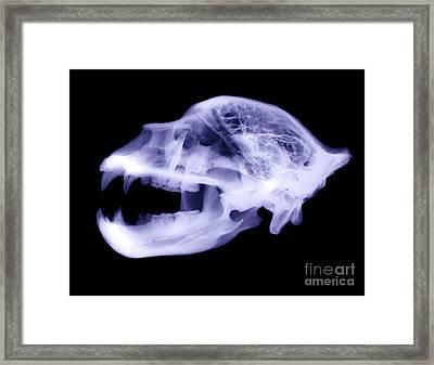 X-ray Of Kodiak Bear Skull Framed Print by Ted Kinsman