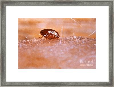 Xenopsylla Cheopis Sucking Blood Framed Print
