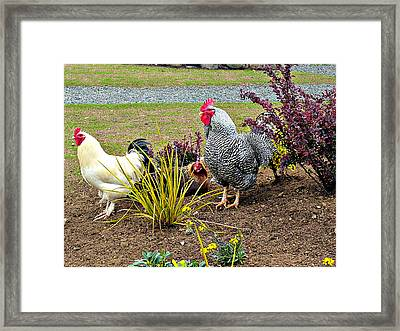Yard Chickens Framed Print