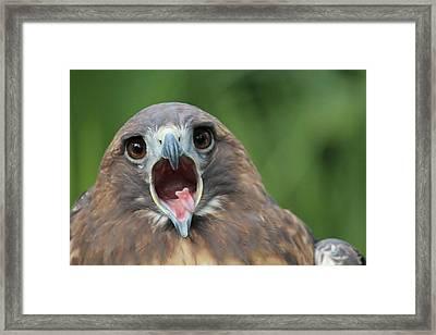 Yawning Hawk Framed Print by Alexander Spahn