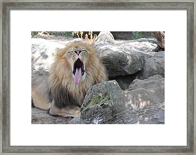 Yawning Lion 2 Framed Print by Becky Lodes
