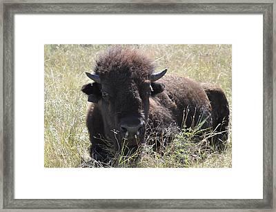 Big-haired Yearling Buffalo Framed Print