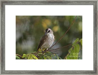 Yellew Vented Bul Bul  Framed Print by Gary Bridger