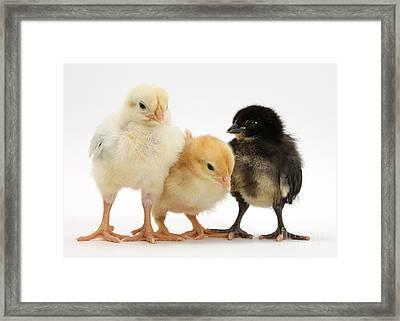 Yellow And Black Bantam Chicks Framed Print by Mark Taylor
