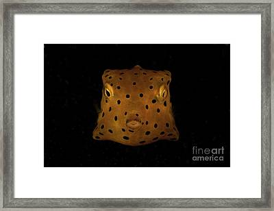 Yellow And Black Spotted Boxfish, North Framed Print by Mathieu Meur