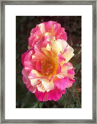 Yellow And Pink Rose Framed Print by Lisa Williams