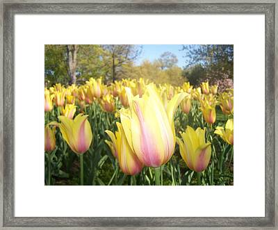 Yellow And Pink Tulips Framed Print