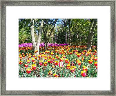 Yellow And Red Tulips Framed Print