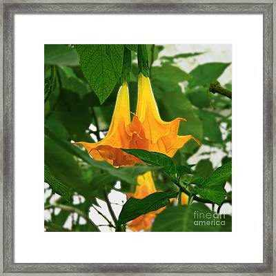Yellow Angel's Trumpet Flower Framed Print
