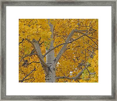 Yellow Aspen Autumn Tree Grand Teton National Park Framed Print