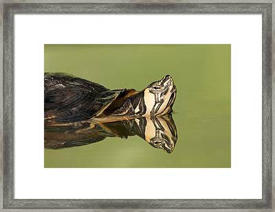 Yellow-bellied Slider Trachemys Scripta Framed Print by Ingo Arndt