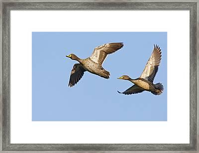 Yellow-billed Duck Anas Undulata Pair Framed Print by Vincent Grafhorst