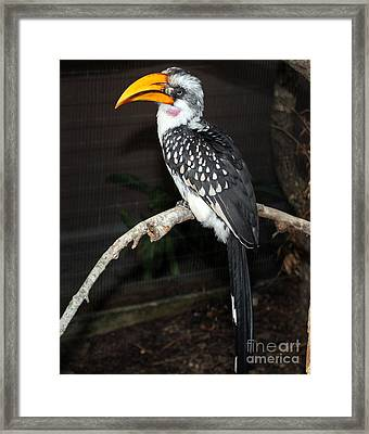 Framed Print featuring the photograph Yellow-billed Hornbill by Kathy  White