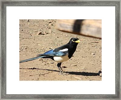 Yellow Billed Magpie Framed Print by Carol Beza
