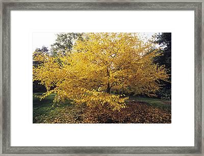 Yellow Birch (betula Alleghaniensis) Framed Print