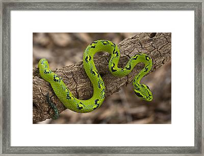 Yellow-blotched Palm Pitviper Framed Print by Pete Oxford