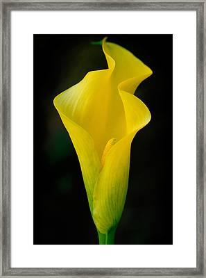 Yellow Cala Framed Print