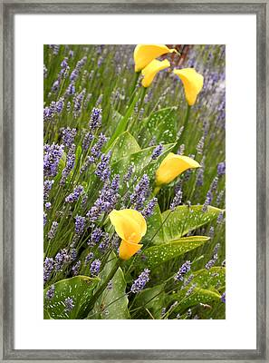 Yellow Calla Lilies Framed Print by Denice Breaux