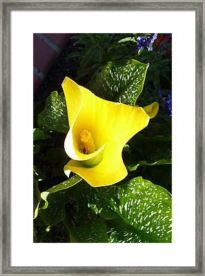 Yellow Calla Lily Framed Print by Carla Parris