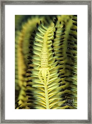 Yellow Commensal Shrimp On Crinoid Framed Print