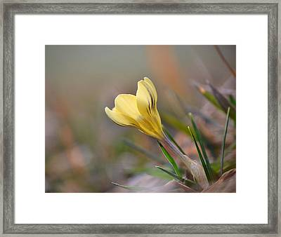Yellow Crocus Framed Print by JD Grimes