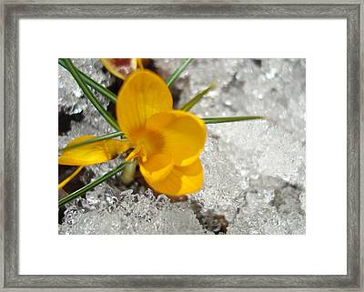 Yellow Crocus Framed Print by Kim French