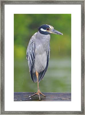 Yellow-crowned Night Heron 2 Framed Print