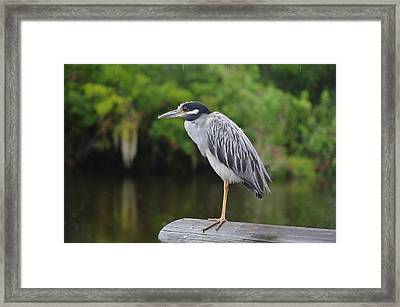 Yellow-crowned Night Heron 3 Framed Print