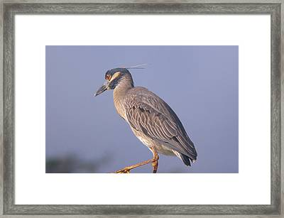 Framed Print featuring the photograph Yellow Crowned Night Heron by Brian Wright