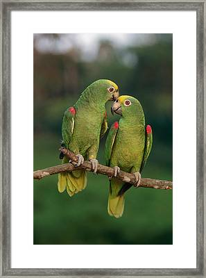 Yellow-crowned Parrot Amazona Framed Print by Thomas Marent