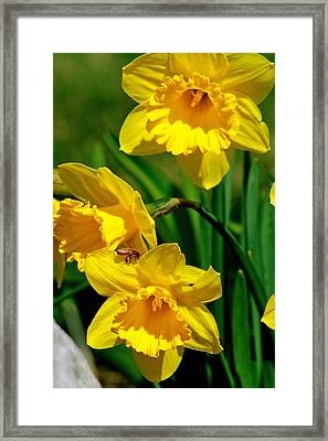 Yellow Daffodils And Honeybee Framed Print by Kay Novy