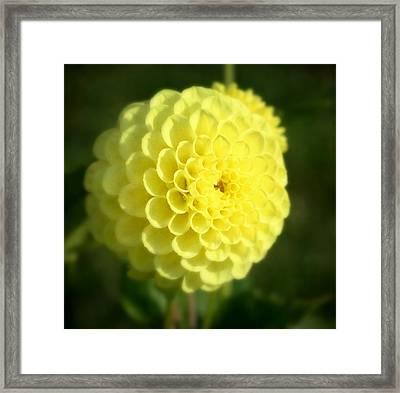 Yellow Dahlia Framed Print by Cathie Tyler