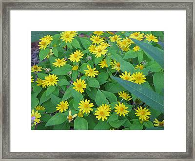 Yellow Daisies Framed Print by RobLew Photography